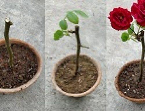 Kweek rose in die Karoo