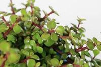 Plant meer spekbome